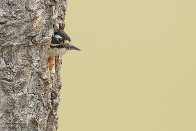 Nuttall's Woodpecker - Milpitas, CA, USA