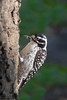 Nuttall's Woodpecker - Los Altos, CA, USA