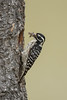 Nuttall's Woodpecker - Milpitas, CA, USA