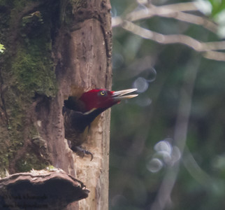 Pale-billed Woodpecker - Braullio Carillo NP, Costa Rica
