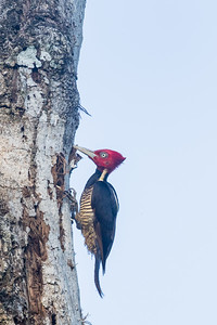 Pale-billed Woodpecker - Green Hills, Belize