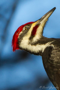 Pileated Woodpecker - Male - nictitating membrane in action