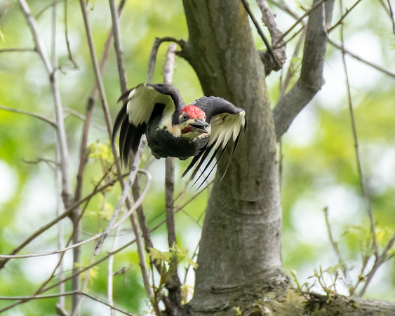 5-5-18 Pileated Woodpecker - Chadds Ford, PA-2556