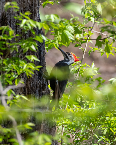 5-1-18 Pileated Woodpecker - White Clay Creek-2160