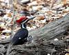Pileated Woodpecker @ South Carolina - March 2009