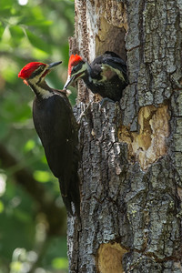 Pileated Woodpecker - Healdsburg, CA, USA