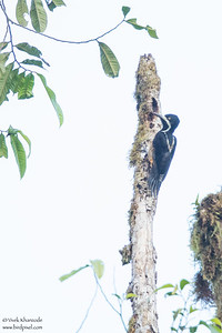 Powerful Woodpecker - Mashpi, Ecuador