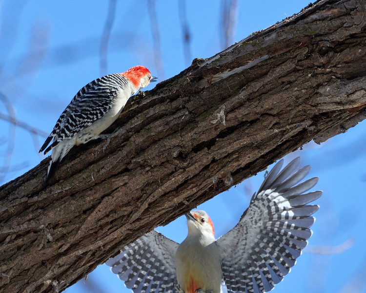 Male and Female Red-bellied Woodpecker