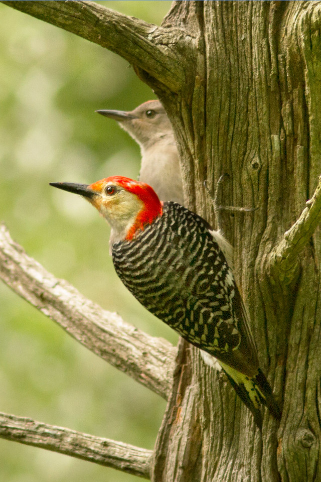 Red Bellied Woodpecker and infant