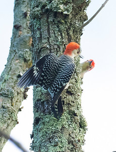 Air Combat Red Bellied Woodpecker