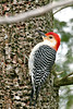 Red-bellied Woodpecker @ Highbanks Metro Park