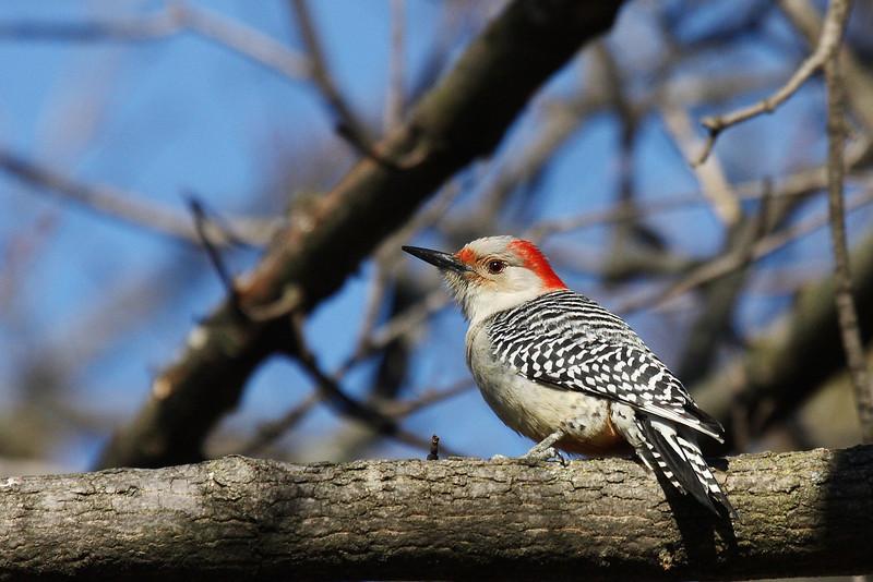 Red-bellied Woodpecker @ Greenlawn Cemetery, January 2008