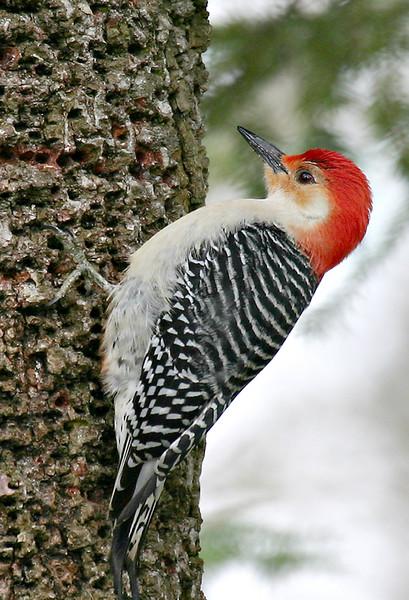 Red-bellied Woodpecker @ Highbanks Metro Park