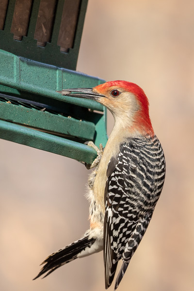 Red-Bellied Woodpecker @ Blacklick Park - Jan 2019