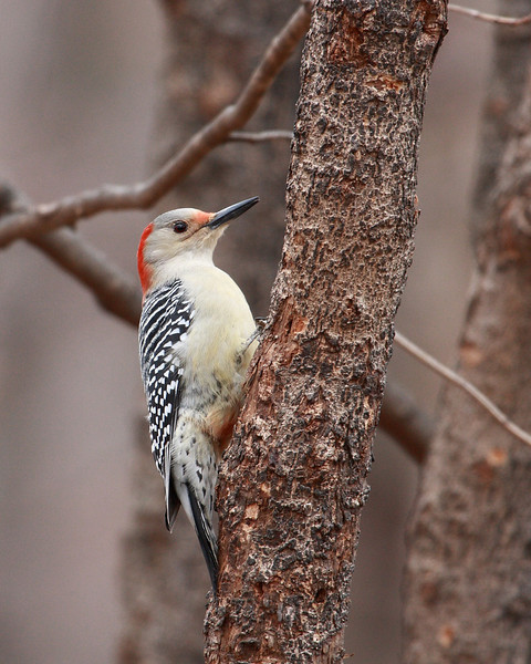 Red-bellied Woodpecker @ Highbanks Metro Parks - Winter 2009