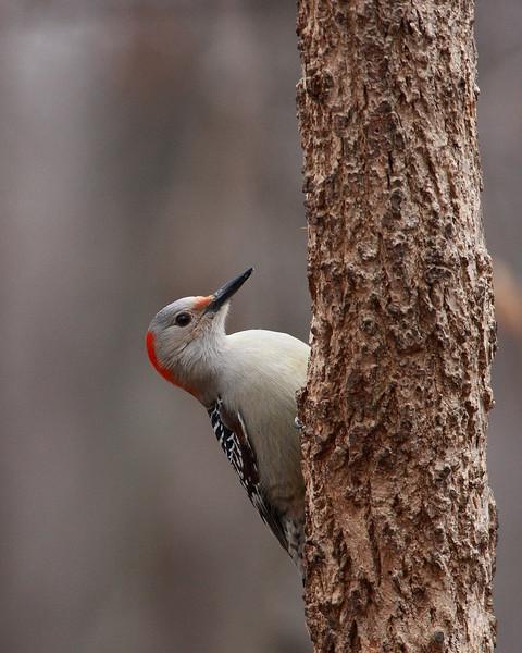 Red-bellied Woodpecker @ Highbanks Metro Parks - Winter 2009