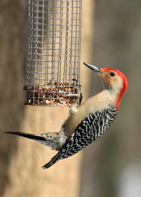 Red-bellied Woodpecker - Highbanks Metro Park -  January, 2005