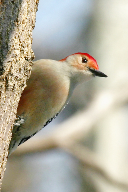 Red-bellied Woodpecker - Highbanks Metro Park -  January, 2005