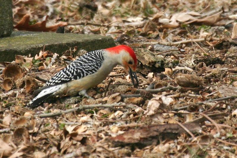 Red-bellied Woodpecker @ Greenlawn Cemetery - March 2006
