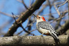 Red-bellied Woodpecker @ Greenlawn Cemetery, January 2008