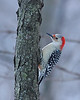 Red-bellied Woodpecker @ Blendon Woods Metro Parks - January 2009