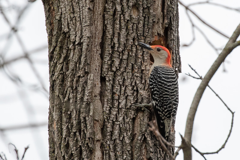 Red-bellied Woodpecker @ Greenlawn Cemetary, Cols OH - Apr 2018