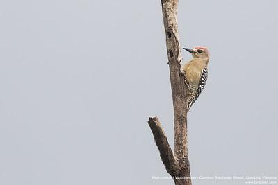 Red-crowned Woodpecker - Gamboa Rainforest Resort, Gamboa, Panama
