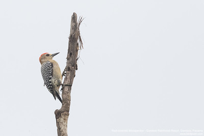 Red-crowned Woodpecker - Gamboa Rainforest Resort, Gamboa, Panama