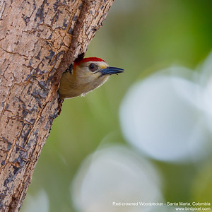 Red-crowned Woodpecker - Santa Marta, Colombia
