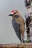Red-crowned Woodpecker  - Los Quetzales Lodge, Guadalupe, Panama