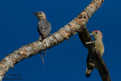 Red-crowned Woodpecker - Record - Osa, Costa Rica