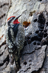Red-naped Sapsucker - Henry Cowell State Park, Felton, CA, USA