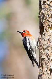 Red-breasted Sapsucker - Donner Campground, Truckee, CA, USA