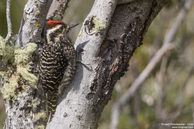 Striped Woodpecker - Chile
