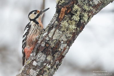 White-backed Woodpecker - Hokkaido, Japan