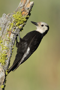 White-headed Woodpecker - Female - OR, USA