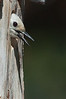 White-headed Woodpecker - Yuba Pass campground, Hwy 49, CA, USA
