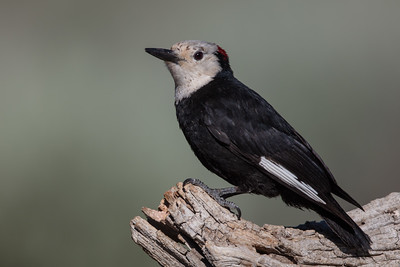 White-headed Woodpecker - OR, USA