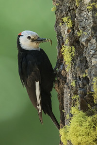 White-headed Woodpecker - Male - Sierra Valley & vicinity, CA, USA