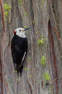 White-headed Woodpecker - Yosemite National Park, CA, USA