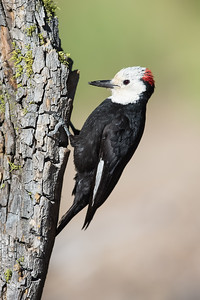White-headed Woodpecker - Male - OR, USA
