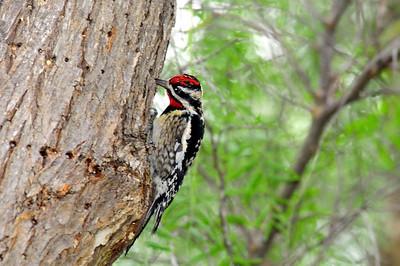 adult male @ Guajomie Regional Park, Oceanside, CA 01/22/2009