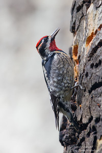 Yellow-bellied Sapsucker - Santa Cruz, CA, USA