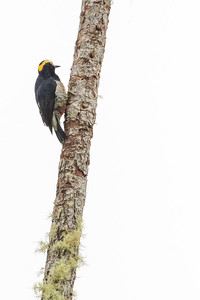 Yellow-tufted Woodpecker - Record - Sumaco, Ecuador