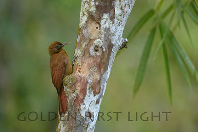 Plain-brown Woodcreeper, Asa Wright Trinidad
