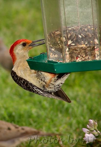 Red-bellied  Woodpecker <br /> Bridgeton, Missouri<br /> 2004-07-10<br /> <br /> No. 51 on my Lifetime List of Bird Species <br /> Photographed in Missouri.