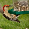 Red-bellied  Woodpecker <br /> Bridgeton, Missouri<br /> 2004-07-10<br /> <br /> No. 51 on my Lifetime List of Birds <br /> Photographed in Missouri.