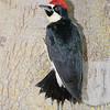 Male Acorn Woodpecker, San Joaquin Co, CA, 5-26-13. Cropped image.