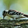 Downy Woodpecker (4)