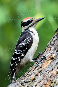 #1189   Hairy woodpecker,  juvenile